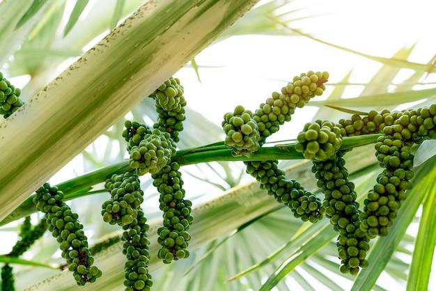 庭のビスマルキアノビリスクローズアップビスマルキアヤシの丸い緑色の生の果実常緑ヤシ