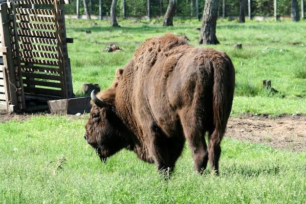 Bison in the reserve belovezhskaya dense forest in belarus