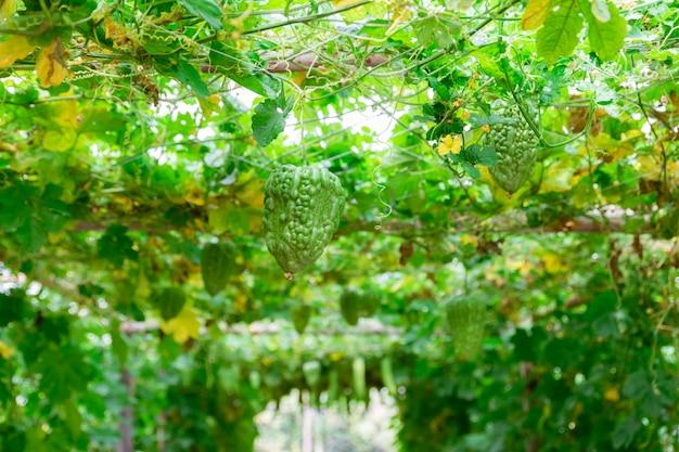 Bitter gourd vegetable gourd for garden health farm
