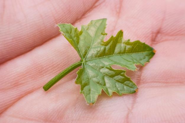 Горькие листья тыквы под рукой