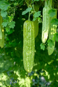 Bitter melon, bitter gourd or bitter squash hanging plants in a farm