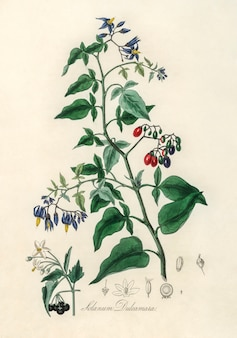 Bittersweet (solanum dulcamara) illustration from medical botany (1836)