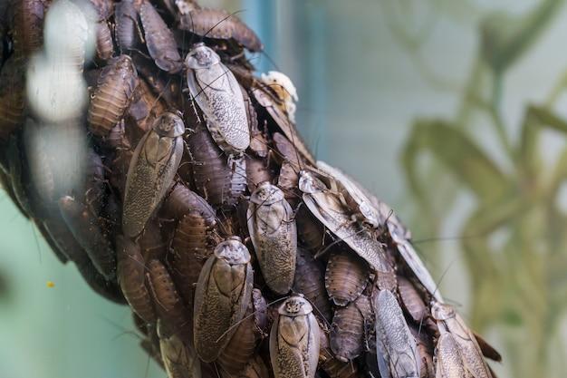 Blaberus craniifer는 원반형 바퀴벌레와 비슷한 바퀴벌레입니다.