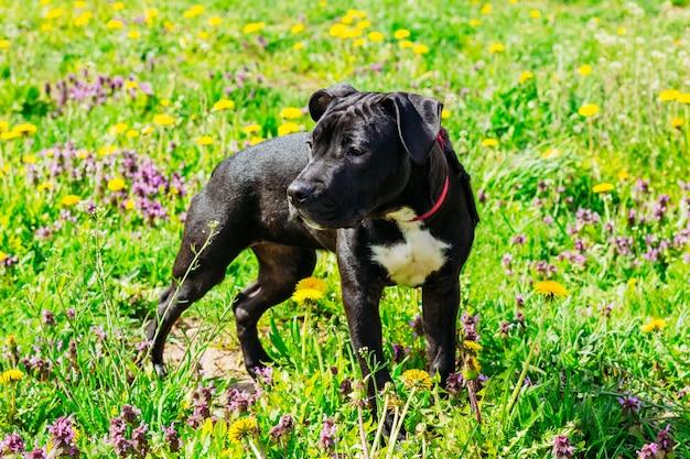 Американский черный стаффордширский терьер puppy dog