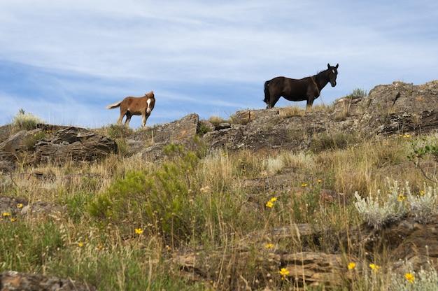 넓은 초원의 바위 위에 서 있는 검은색과 베이지색 말