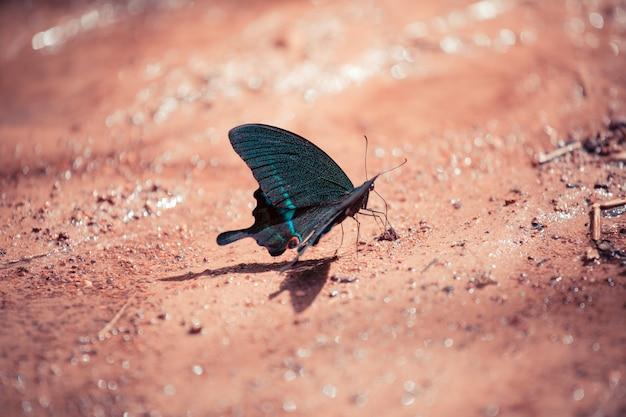 森の地面に座っている黒と青の蝶。