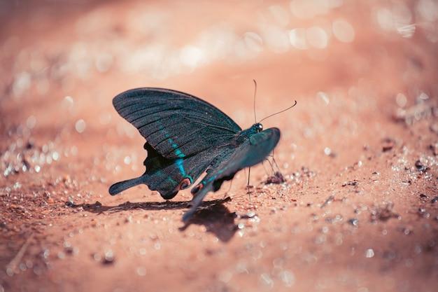 검은색과 파란색 나비는 숲의 땅에 앉아 있습니다.