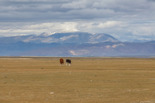 Черные и коричневые телята пасутся на лугах горного алтая
