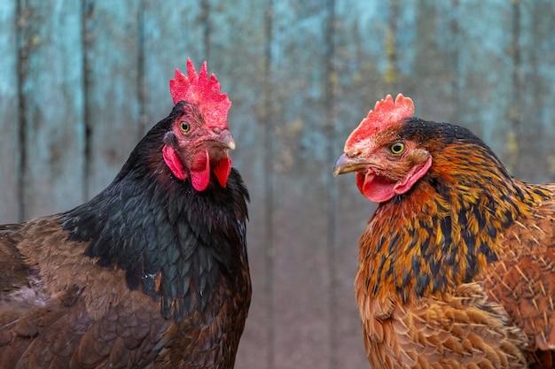 검은색과 갈색 닭이 서로 마주보고 있습니다.