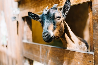 Black and brown goat peeking head from wooden fence