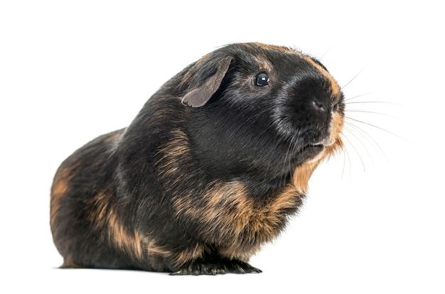 Черно-коричневая морская свинка, изолированная на белом