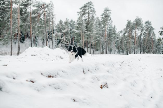 雪に覆われた森の黒と白のボーダーコリー犬