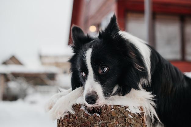 Черно-белая собака бордер-колли лежит на пне зимой