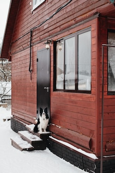 Черно-белая собака бордер-колли на крыльце зимой