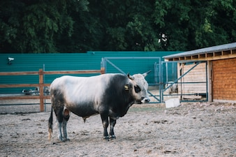 Black and white bull in the barn