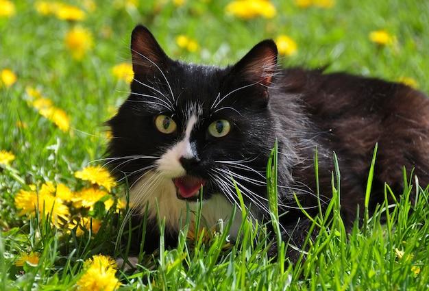 Черно-белый кот среди желтых одуванчиков на зеленой траве