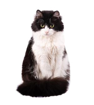 黒と白の猫は白い背景で隔離。黄色い目を持つ飼い猫。