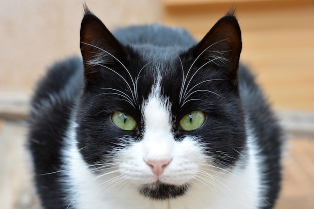 바닥에 앉아있는 흑백 고양이 프리미엄 사진