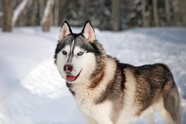 雪の中でシベリアンハスキー犬の黒と白のクローズアップの肖像画色とりどりの目でハスキー