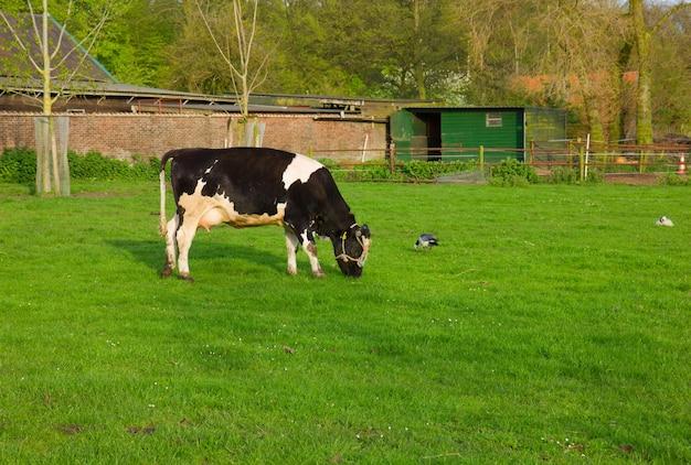 Черно-белая корова ест траву на пастбище