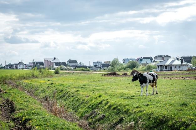 フィールドの黒と白の牛。