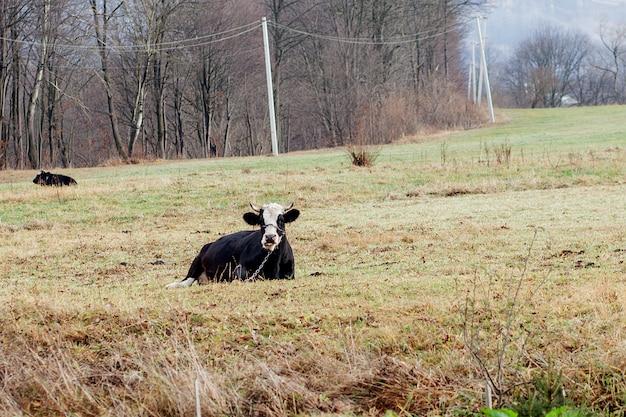 緑の草、水平ビューに横たわって黒と白の牛