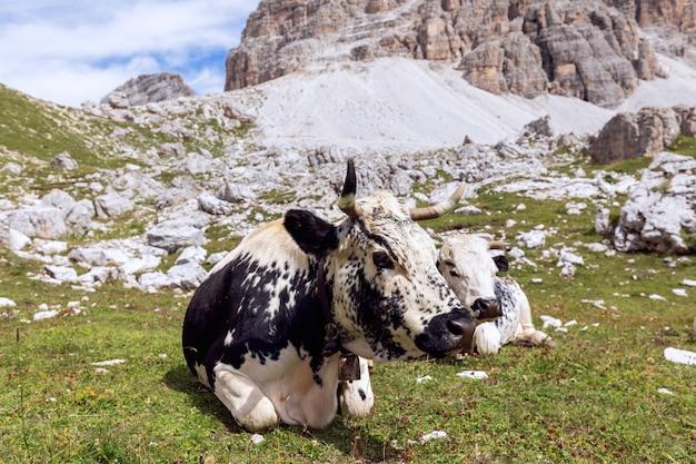 ドロミテの高地の牧草地で休む白黒の牛。南チロル、イタリア。