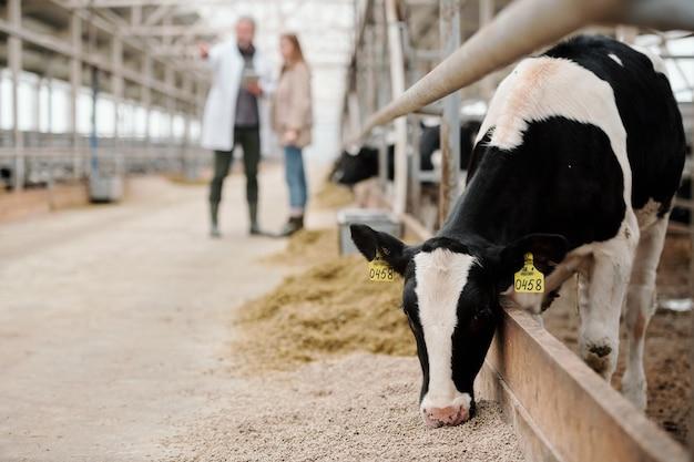 현대 대형 동물 농장 안의 목장 가장자리에 서서 두 명의 노동자를 상대로 가축 사료를 먹고 있는 흑백 암소