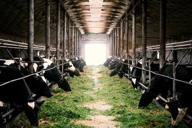 Черно-белые коровы в фермерском коровнике едят зеленую траву