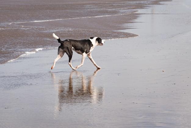 Черно-белая собака гуляет по пляжу в дневное время