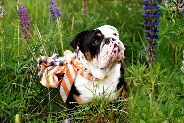 草の中に座って散歩のためにスカーフを身に着けている黒と白のイングリッシュブルドッグ