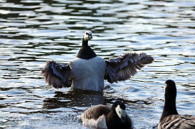 검은색과 흰색 거위가 날개를 펴고 물 위를 헤엄친다
