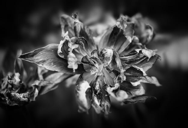 乾燥したチューリップの白黒画像。赤いチューリップの花びらを乾かします。フェードタイムのシンボルのような乾いたチューリップ。浅い被写界深度