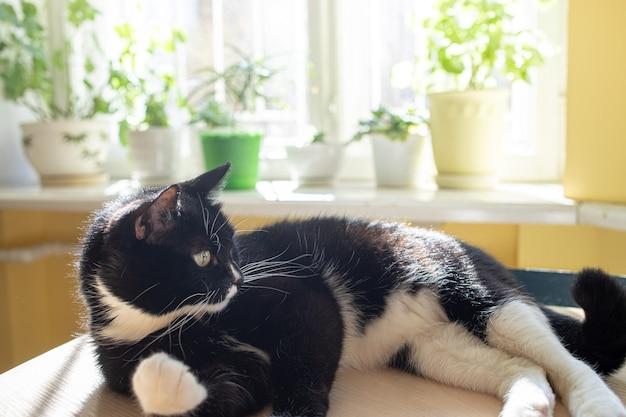 Черно-белый кот лежит на столе и греется на солнце перед залитым солнцем размытым окном с зелеными комнатными растениями.