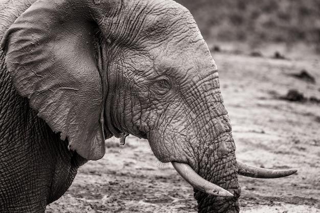 南アフリカの国立公園内のアフリカ象の黒と白の肖像画
