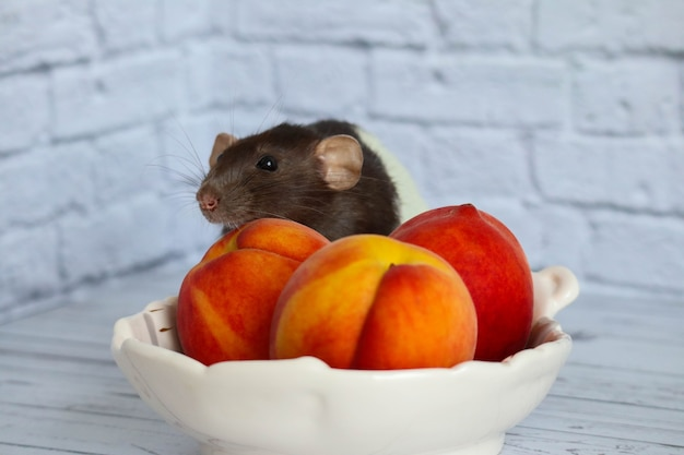 Черно-белая крыса ест сочный сладкий и вкусный персик.