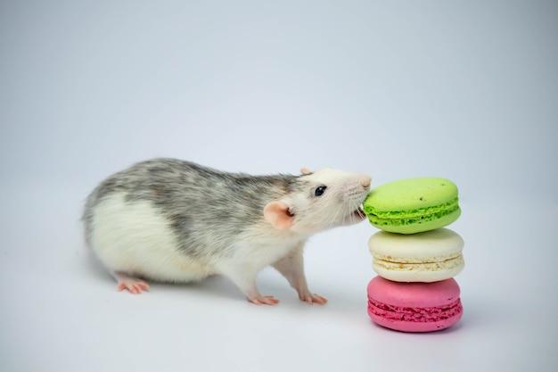 Черно-белая крыса нюхает зеленые и розовые миндальное печенье