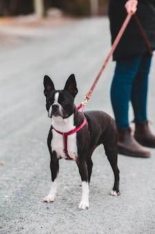 Черно-белая короткошерстная собака с синим ошейником