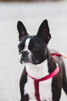 赤い襟付きの黒と白のショートコーティングされた犬
