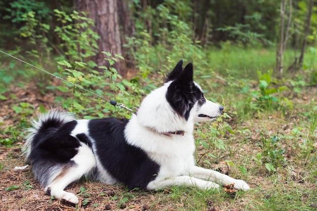Черно-белый сибирский хаски лежал на траве