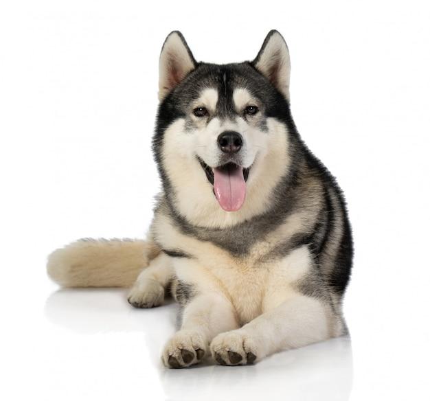 白地に黒と白のシベリアンハスキー犬