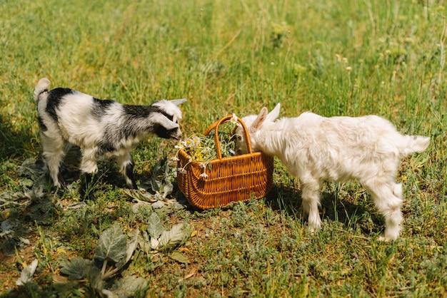 田舎の農場でバスケットからカモミールを食べる黒と白の小さな生まれたばかりの赤ちゃんヤギ