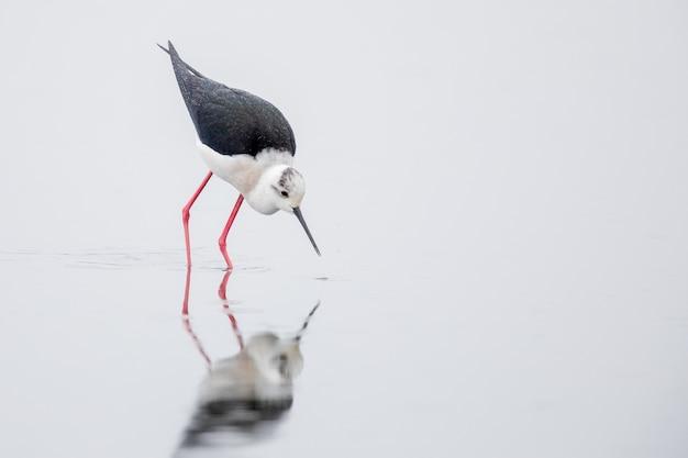 Черно-белая ходуля, идущая по воде в дневное время