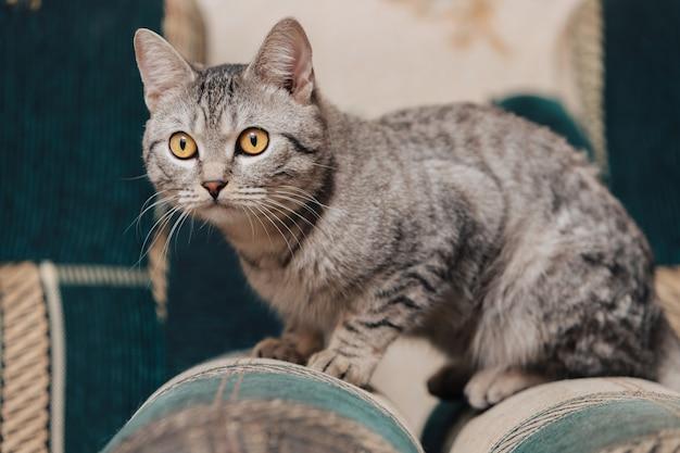 オレンジ色の目を持つ黒と白のぶち猫。猫はソファやアームチェアに横になっています。