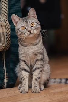オレンジ色の目を持つ黒と白のぶち猫。猫はソファや椅子の近くの床に座っています。