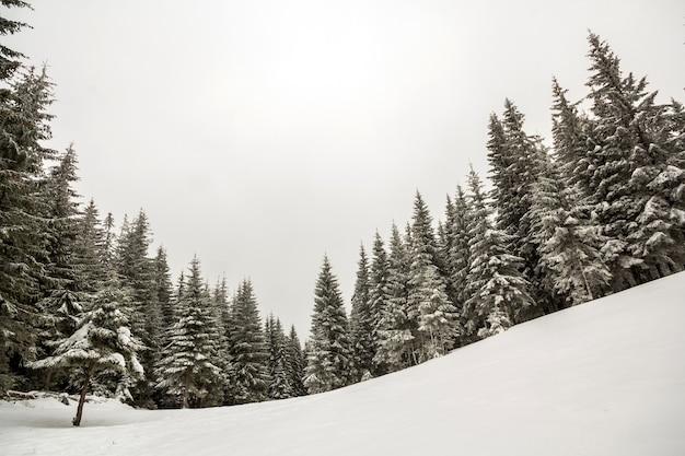 黒と白の冬山新年のクリスマス風景。背の高い松の木は、冬の森の深い雪の中で霜で覆われています。