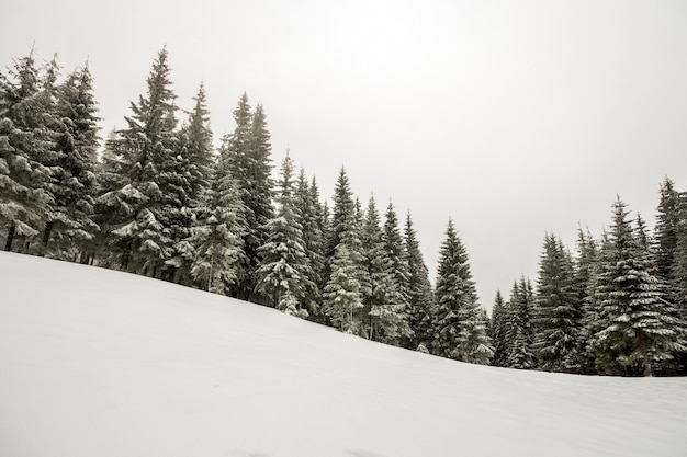 흑인과 백인 겨울 산 새 해 크리스마스 풍경. 깊고 맑은 눈에 서리로 덮인 키 큰 소나무