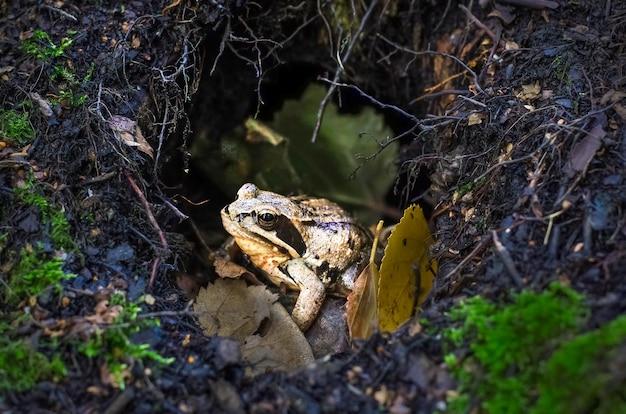 ミンクの枝と苔の間の森の黒と黄色のカエル。ハロウィーンの表面