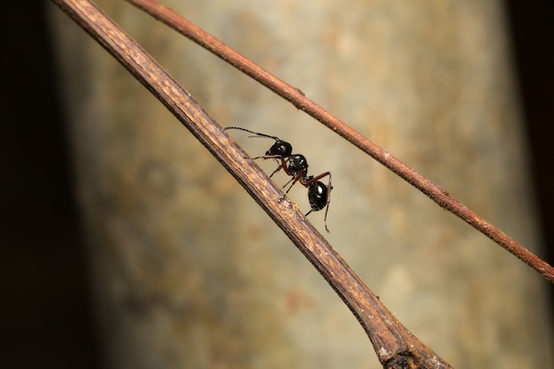 Black ant perched on branches