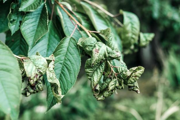 일그러진 벚나무 잎의 검은 진딧물, 흑파리의 영향을 받은 벚나무 잎